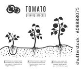 tomato plant with roots vector... | Shutterstock .eps vector #608888075