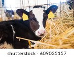 Calf In The Cowshed In Dairy...