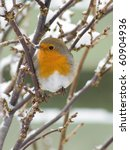 European Robin With Snow On Th...