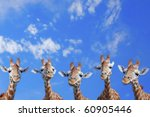 The Heads Of Five Giraffes...