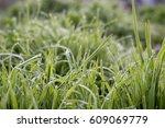 water drops on blades of grass... | Shutterstock . vector #609069779
