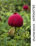 wild peony with dew. yailata ... | Shutterstock . vector #609069785