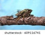 Annual Cicada  Neotibicen...