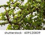 Green Shiny Leaves  Of Crassul...