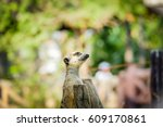 meerkat alert  background | Shutterstock . vector #609170861
