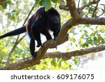 Small photo of Howler monkey (alouatta) walking on a branch in a tree, Belize, Central America