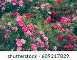 garden roses | Shutterstock . vector #609217829