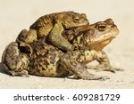 common brown toads mating in... | Shutterstock . vector #609281729