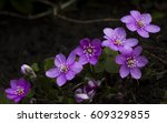 close up of one of the early... | Shutterstock . vector #609329855