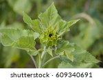 sunflower bud | Shutterstock . vector #609340691