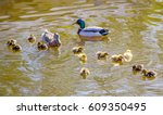Ducklings. Family Of Wild Duck...