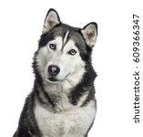 Close Up Of A Siberian Husky  4 ...