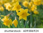 beautiful yellow daffodil ... | Shutterstock . vector #609386924
