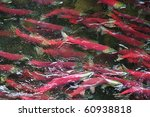 Colorful Spawning Salmon...