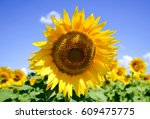 Sunflower Blue Sky Landscape