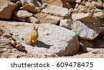Small photo of Viscacha in the desert of Bolivia. Viscachas or vizcachas are rodents of two genera in the family Chinchillidae. They are chinchillas, but look similar to rabbits, apart from their longer tails.