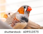 Small photo of The zebra finch amadina looks in a shot, a close up of a pet.