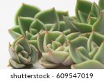 Young Succulents  Echeveria...