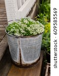 Sweet Alyssum Planted In A...