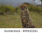 Staring Cheetah