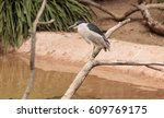 Night Heron Called Nycticorax...