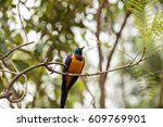 golden breasted starling called ... | Shutterstock . vector #609769901