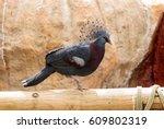 Victoria Crowned Pigeon Called...