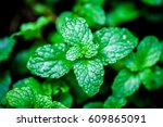 close up green peppermint leaves | Shutterstock . vector #609865091