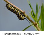 Chunky Chubby Monarch...