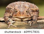 Small photo of Female American Toad (Bufo americanus) with a green background