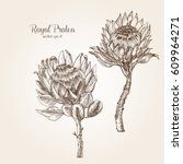 hand drawn royal protea | Shutterstock .eps vector #609964271