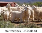 A Flock Of Angora Goats In The...