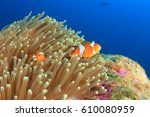 Clown Anemonefish Tropical Fish