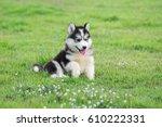 Cute Siberian Husky Puppy On...