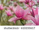 amazing pink magnolia flower ... | Shutterstock . vector #610233617