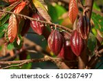 Group Of Red Cocoa Pods Hanging ...