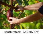 cutting cocoa fruit from tree... | Shutterstock . vector #610287779