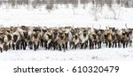 Reindeers Migrate For A Best...