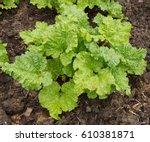 Young Rhubarb Plant  Rheum...