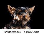 Stock photo closeup portrait of a yorkshire terrier puppy on black 610390085
