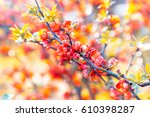 flowering quince with beautiful ... | Shutterstock . vector #610398287