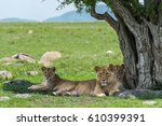 Three Lions In Shade In Masai...