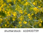 many small yellow flowers senna ... | Shutterstock . vector #610433759
