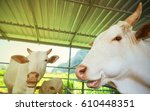 Three White Cows In A Pen Unde...