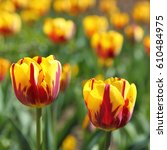 Small photo of Bunch of Blooming Red and Yellow Two-Tone Tulip Flowers.