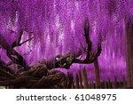 Wistaria Gigantic Tree