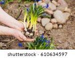 gardener hands planting flowers ... | Shutterstock . vector #610634597