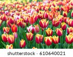 Colorful Tulip Flower Fields...