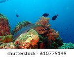 giant moray eel | Shutterstock . vector #610779149