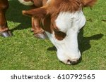 cow on a summer pasture eating... | Shutterstock . vector #610792565